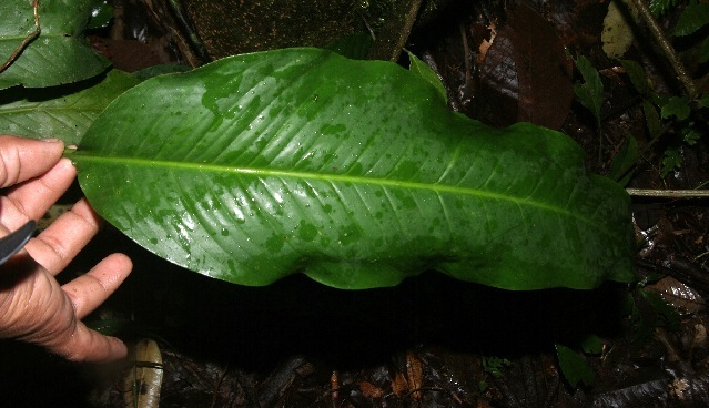 Image of <i>Spathiphyllum phryniifolium</i> Schott