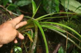 Image of <i>Guzmania subcorymbosa</i> L. B. Sm.