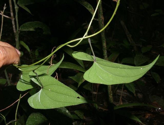 Image of yam