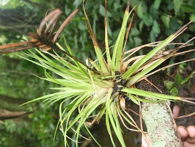 Image of <i>Tillandsia monadelpha</i> (E. Morren) Baker