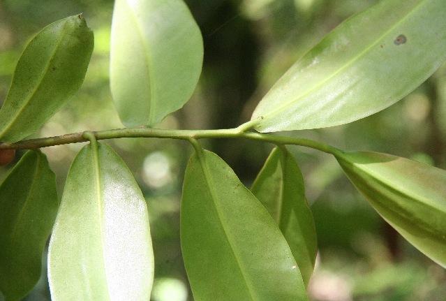 Image of <i>Souroubea sympetala</i> Gilg