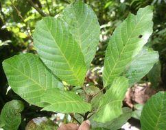 Image of <i>Sloanea faginea</i> Standl.
