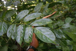 Image of turpinia