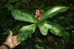 Image of <i>Ardisia wedelii</i> Lundell