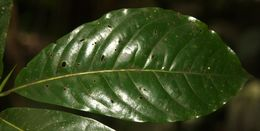 Image of <i>Chimarrhis parviflora</i> Standl.