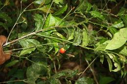 Image of <i>Malpighia albiflora</i> (J. Cuatrec.) J. Cuatrec.