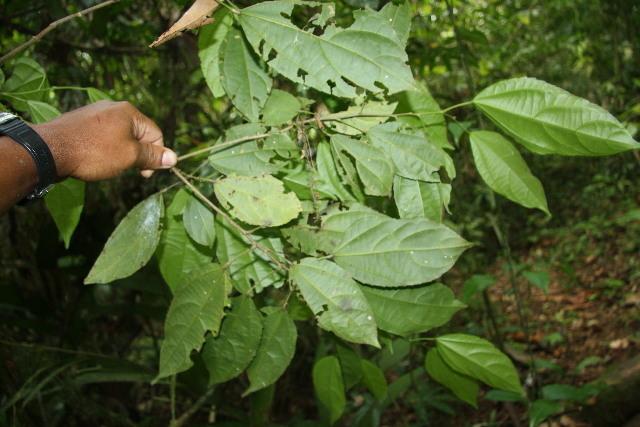 Image of <i>Pleuranthodendron lindenii</i> (Turczaninov) H. Sleum.
