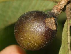Image of <i>Meliosma brenesii</i> Standl.