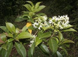 Image of <i>Chionanthus panamensis</i> (Standl.) Stearn