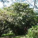 Image of <i>Lennea viridiflora</i> Seem.