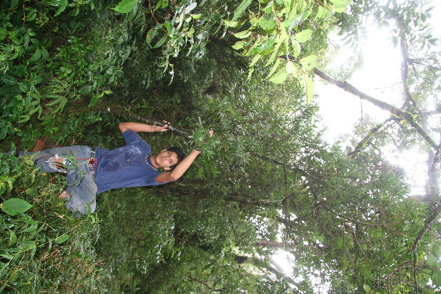 Image of <i>Podocarpus guatemalensis</i> Standl.