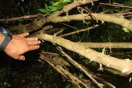 Image of <i>Randia monantha</i> Benth.