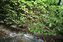 Image of <i>Coccoloba acuminata</i> Kunth