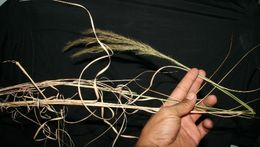 Image of <i>Aristida recurvata</i> Kunth
