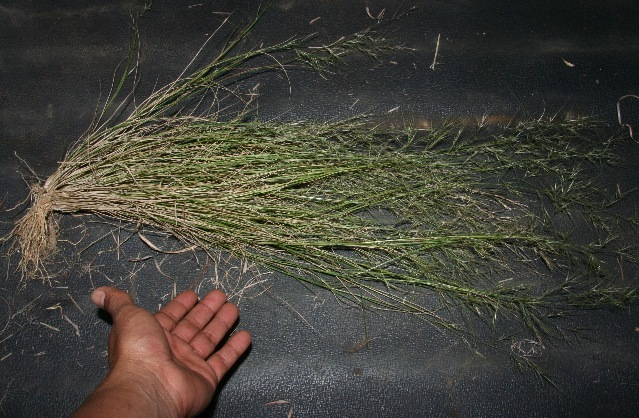 Image of Poaceae