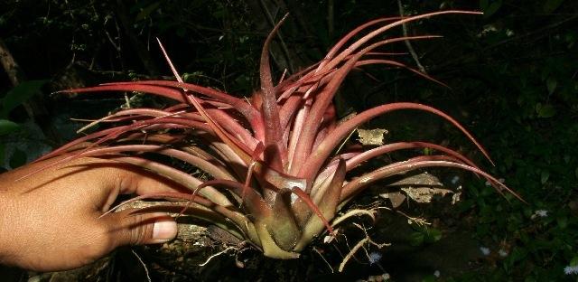 Image of <i>Tillandsia brachycaulos</i> Schltdl.