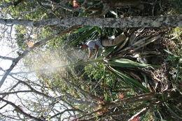 Image of <i>Furcraea cabuya</i> Trel.
