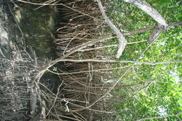 Image of red mangrove family