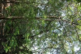 Image of <i>Simarouba glauca</i>