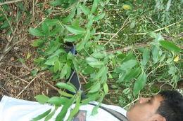 Sivun <i>Actinostemon caribaeus</i> Griseb. kuva