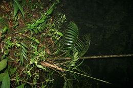 Image of <i>Prestoea decurrens</i> H. E. Moore