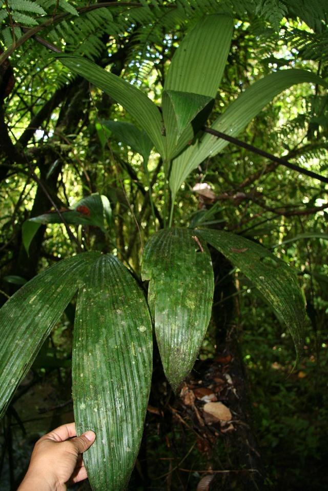 Image of <i>Asplundia longitepala</i> Harling