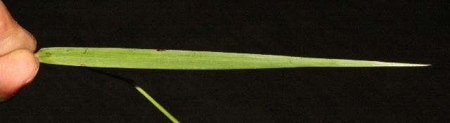 Image of Panicum