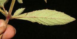 Image of <i>Hyptis vilis</i> Kunth & C. D. Bouché
