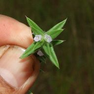 Image of stiff buttonweed