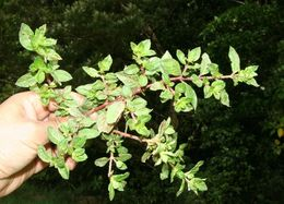Image of Colombian waxweed