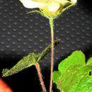 Image of <i>Pavonia cancellata</i> (L.) Cav.