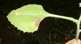 Image of Florida tasselflower