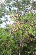Image of cockspur