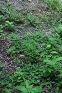 Image of Sorrels