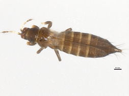 Image of <i>Odontothrips loti</i> (Haliday 1852)
