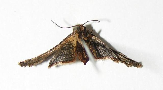 Image of Rhodoneura