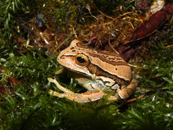 Image of Marsupial Frogs