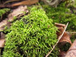 Image of Catoscopiaceae