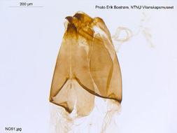 Image of <i>Cricotopus brevipalpis</i> Kieffer 1909
