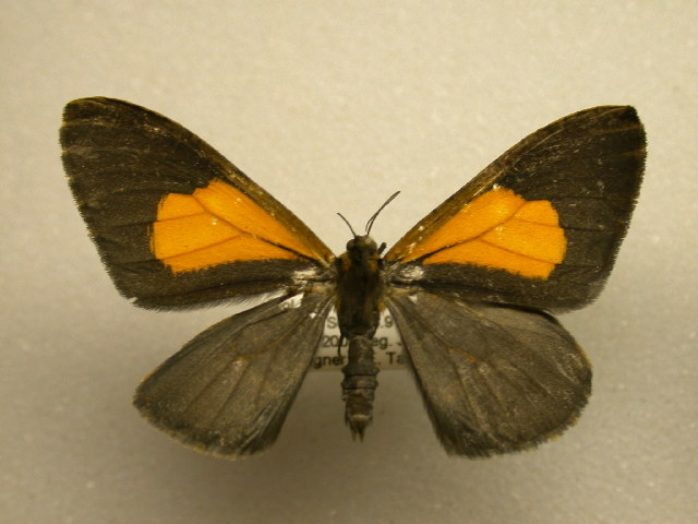 Image of Callipia