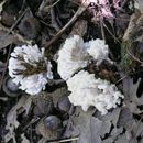 539.min mcbs186 tremellodendron pallidum 1 1247792340 jpg.130x130