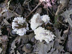 Image of <i>Tremellodendron pallidum</i>