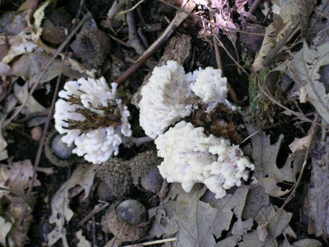 539.min mcbs186 tremellodendron pallidum 1 1247792340 jpg