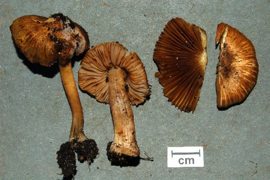 539.min mcbs65 inocybe cf radiata 3modified 1247792400 jpg.580x360