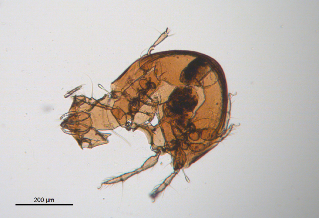 Image of Scheloribatidae