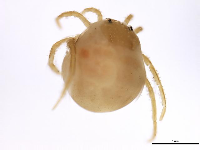Image of Hydrachna