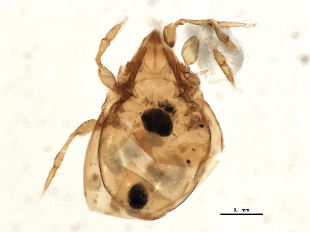 Image of <i><i>Oribatula</i></i> (Oribatula) <i>tibialis</i> (Nicolet 1855)