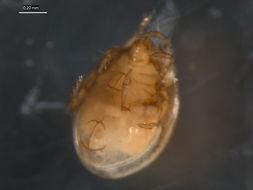 Image of <i>Euzetes globulus</i> (Nicolet 1855)
