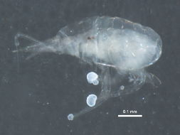 Image of snout mites