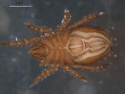 Image of Nothridae